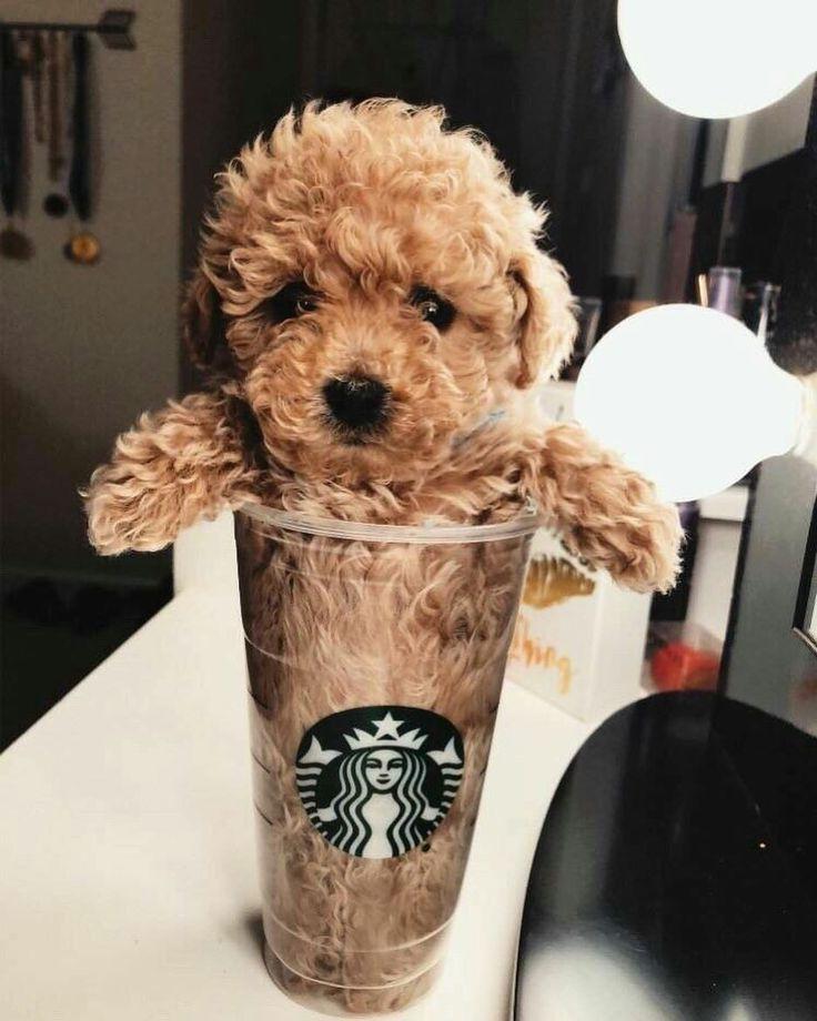 "Photo of Eslamoda en Instagram: ""Un perruccino con extra dulce por favor ❤️ #cute #cuttie #dog #puppy #starbucks #sweet #prettiest #sugar #instacute #instalove #lovely"""