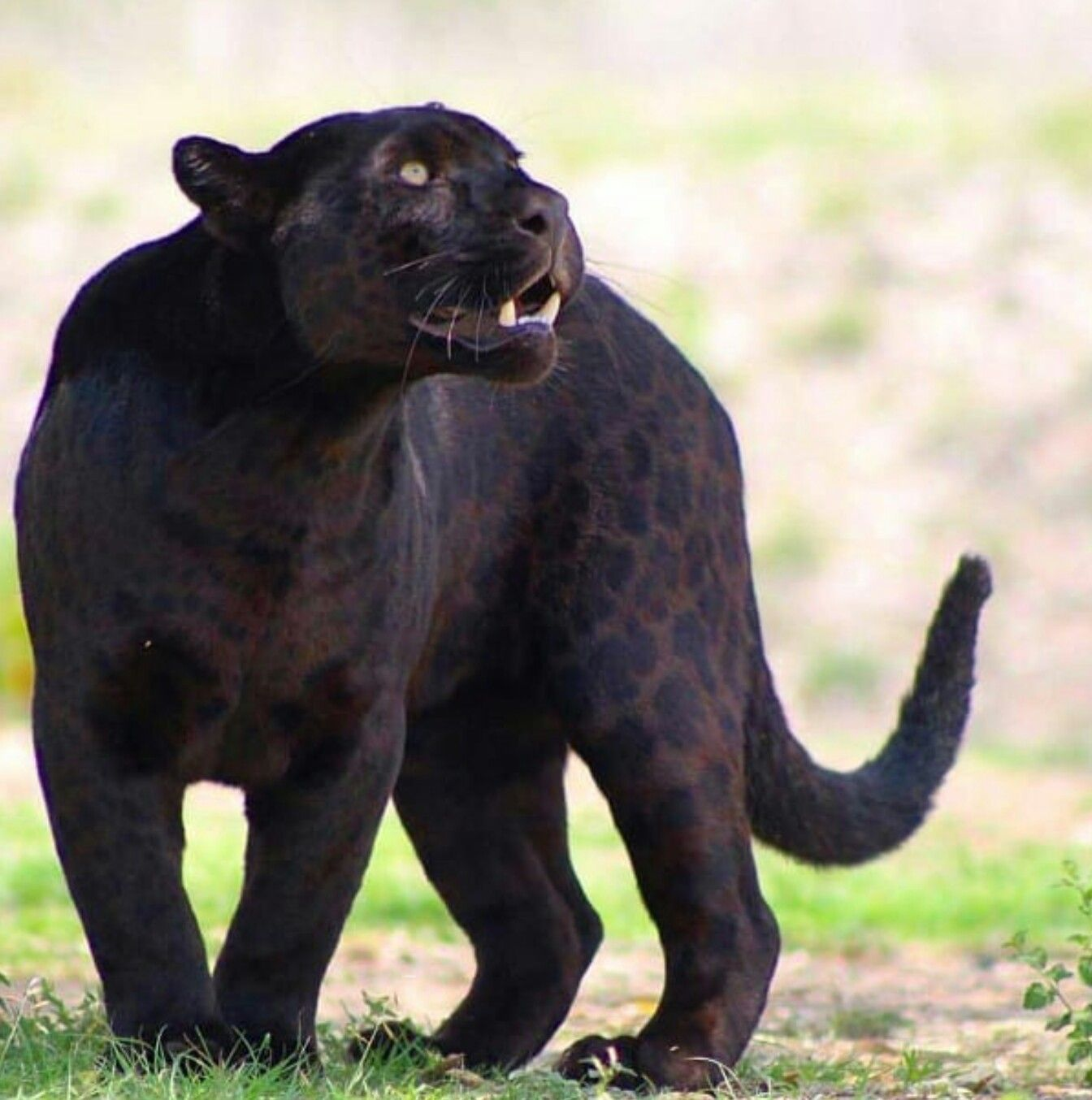 Jaguar beautiful markings animals beautiful big cats