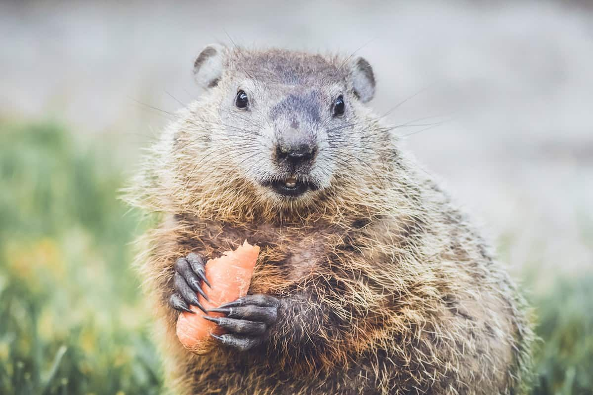 3ed7952faca84f19b9f159103ff8cbe2 - How To Get Rid Of Groundhogs In Vegetable Garden
