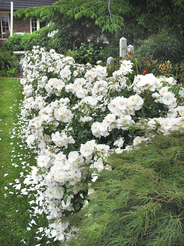 foto de A hedgerow of Flower Carpet White roses helps to give the appearance of a wider yard
