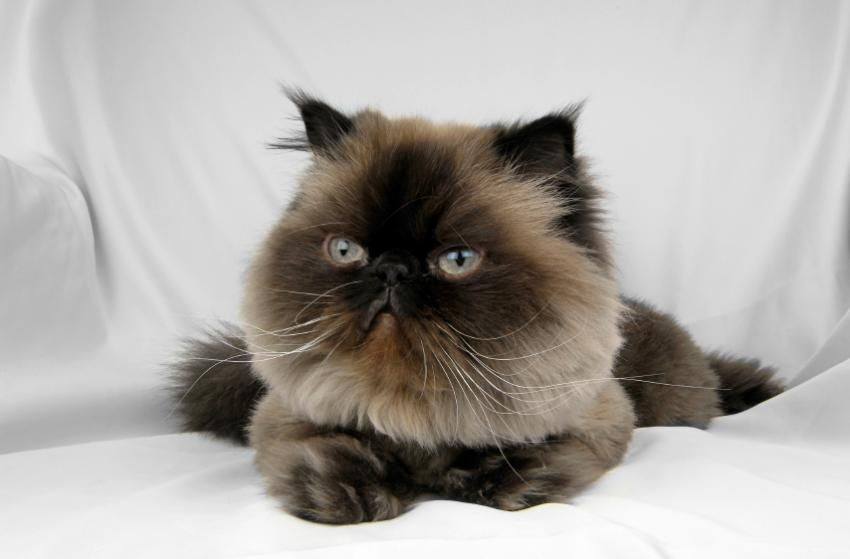 Himalayan Cat Pictures And Breed History Lovetoknow Himalayan Cat Fancy Cats Cat Pics