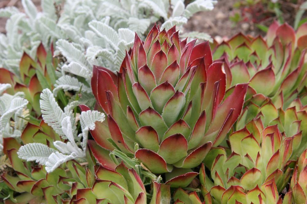 Die unverwüstliche Hauswurz wächst dort, wo es kaum eine andere Pflanze aushält. Sie erträgt Hitze, Trockenheit und Kälte problemlos und behält auch im Winter ihre Blätter. Wer einmal das Dickblattgewächs für sich entdeckt hat, kommt so schnell nicht mehr von ihm los, denn bei über dreitausend Sorten gibt es immer etwas Neues zu entdecken.