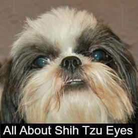 Shih Tzu Eye Problems What You Should Know Shih Tzu Shih Tzu Dog
