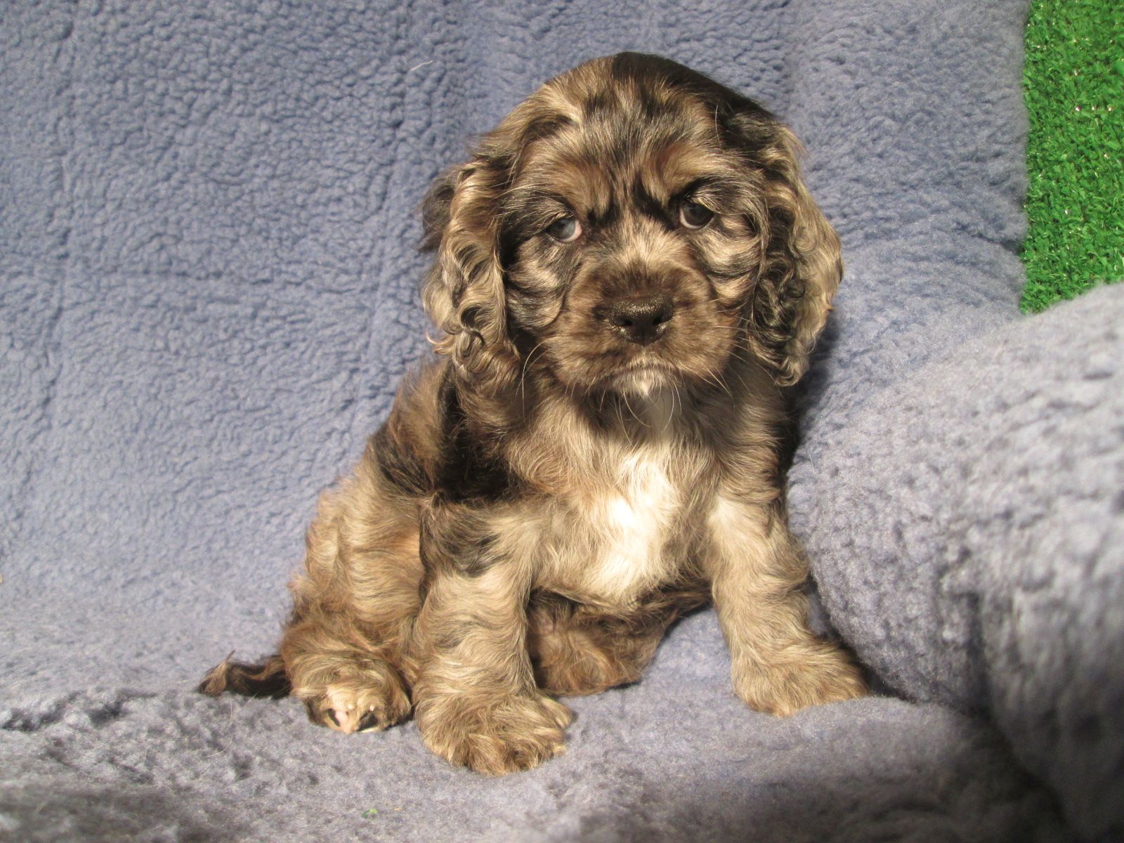 Simply Perfect Cockalier Puppies Available Cocker Spaniel X Cavalier 8 12 Weeks Of Age Permanent Shots A Mixed Breed Puppies Puppies Puppies For Sale