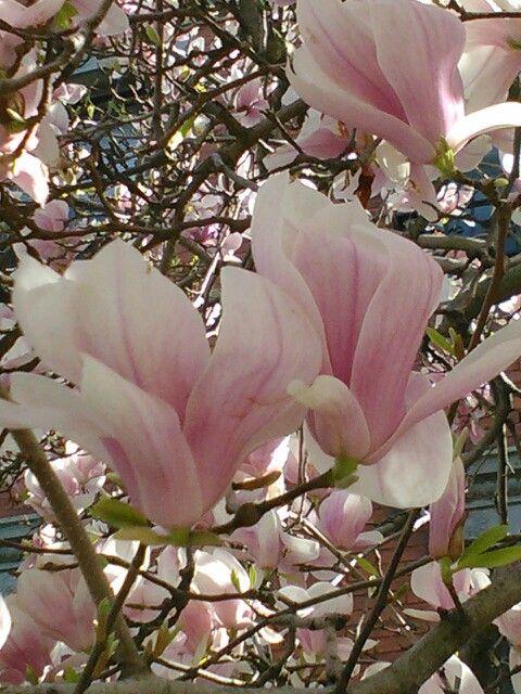 Japanese Lotus Tree Blossoms Natures Beauty Japanese Lotus
