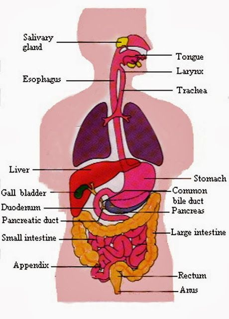 Human digestive system study material science pinterest human digestive system ccuart Choice Image
