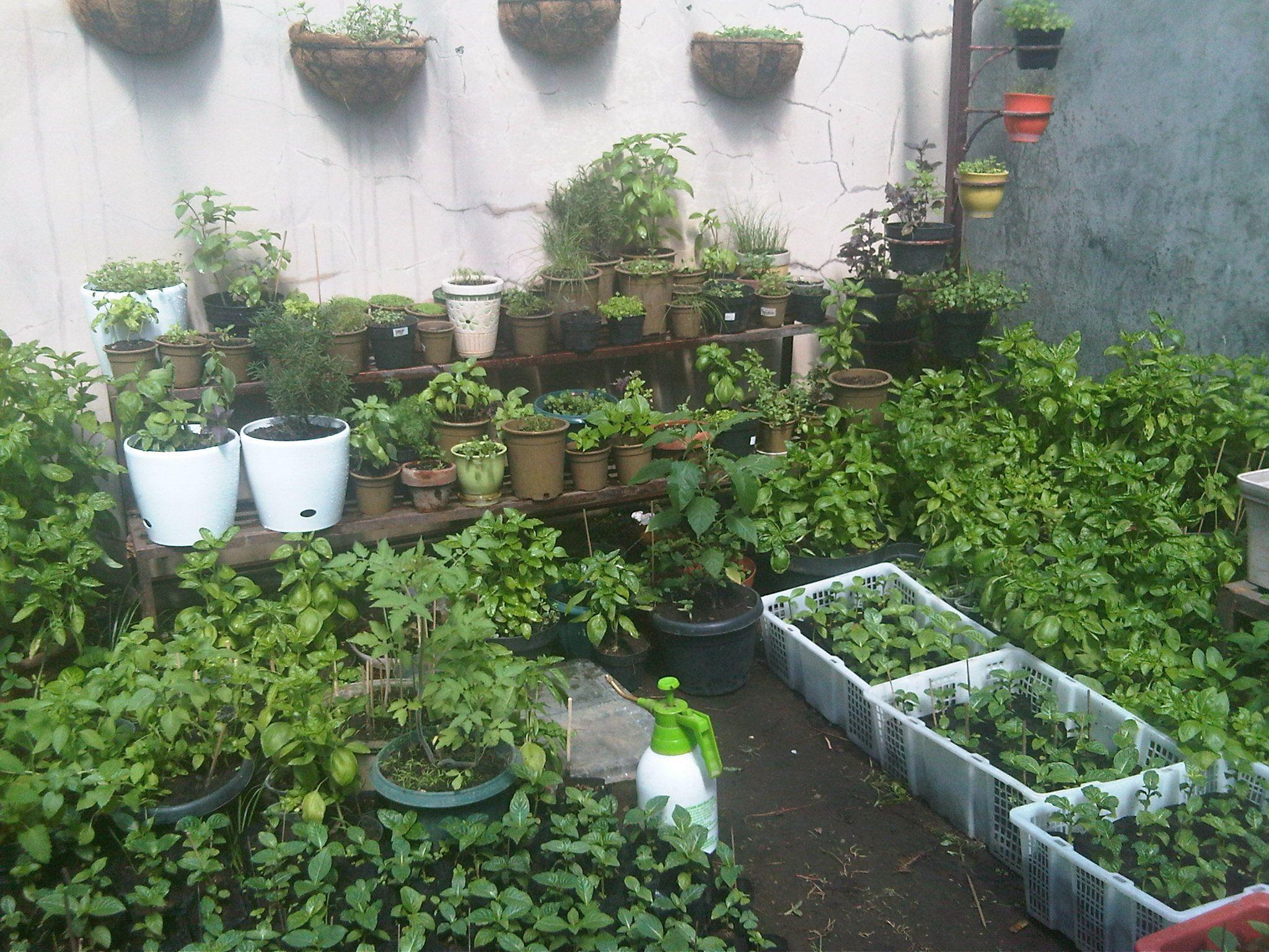 Kebun Sayur Di Belakang Rumah