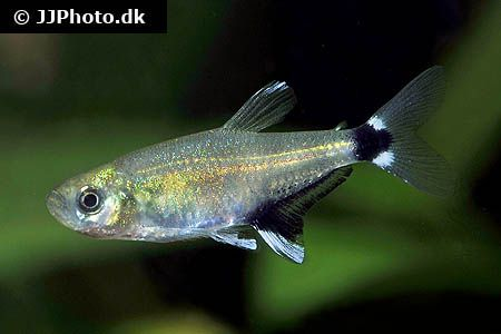 Pin On Characin Fishes Family