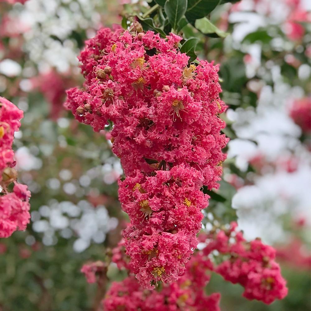 3 Gal Tuscarora Dark Pink Crape Myrtle Tree Crmtus03g The Home Depot In 2021 Crape Myrtle Myrtle Tree Flowering Cherry Tree