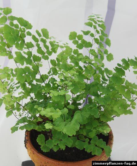 adiantum raddianum forever ferns in 2018 pinterest pflanzen farn zimmerpflanze und garten. Black Bedroom Furniture Sets. Home Design Ideas