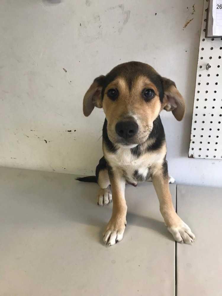 Meet Harvey, an adoptable Labrador Retriever looking for a