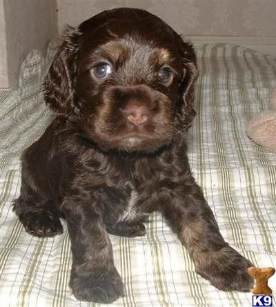 Cocker Spaniel Puppy Dallas Would Love This Cocker