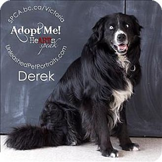 Victoria Bc Border Collie Australian Shepherd Mix Meet Derek