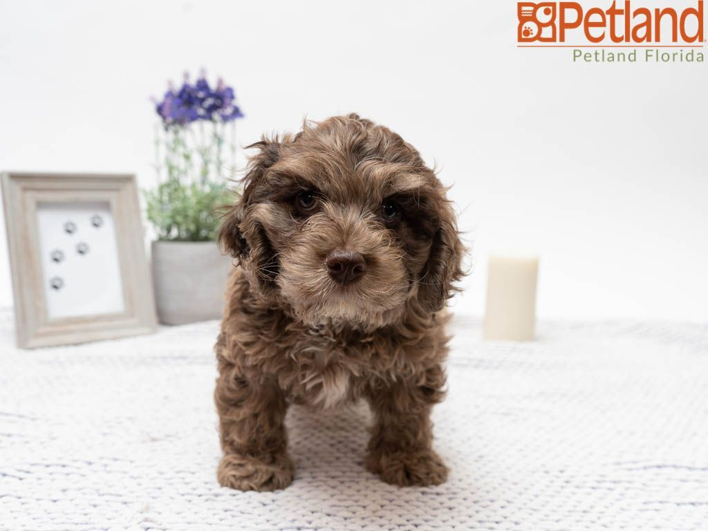 Petland Florida Has Cockapoo Puppies For Sale Check Out All Our Available Puppies Cockapoo Petla Cockapoo Puppies For Sale Puppy Friends Puppies For Sale