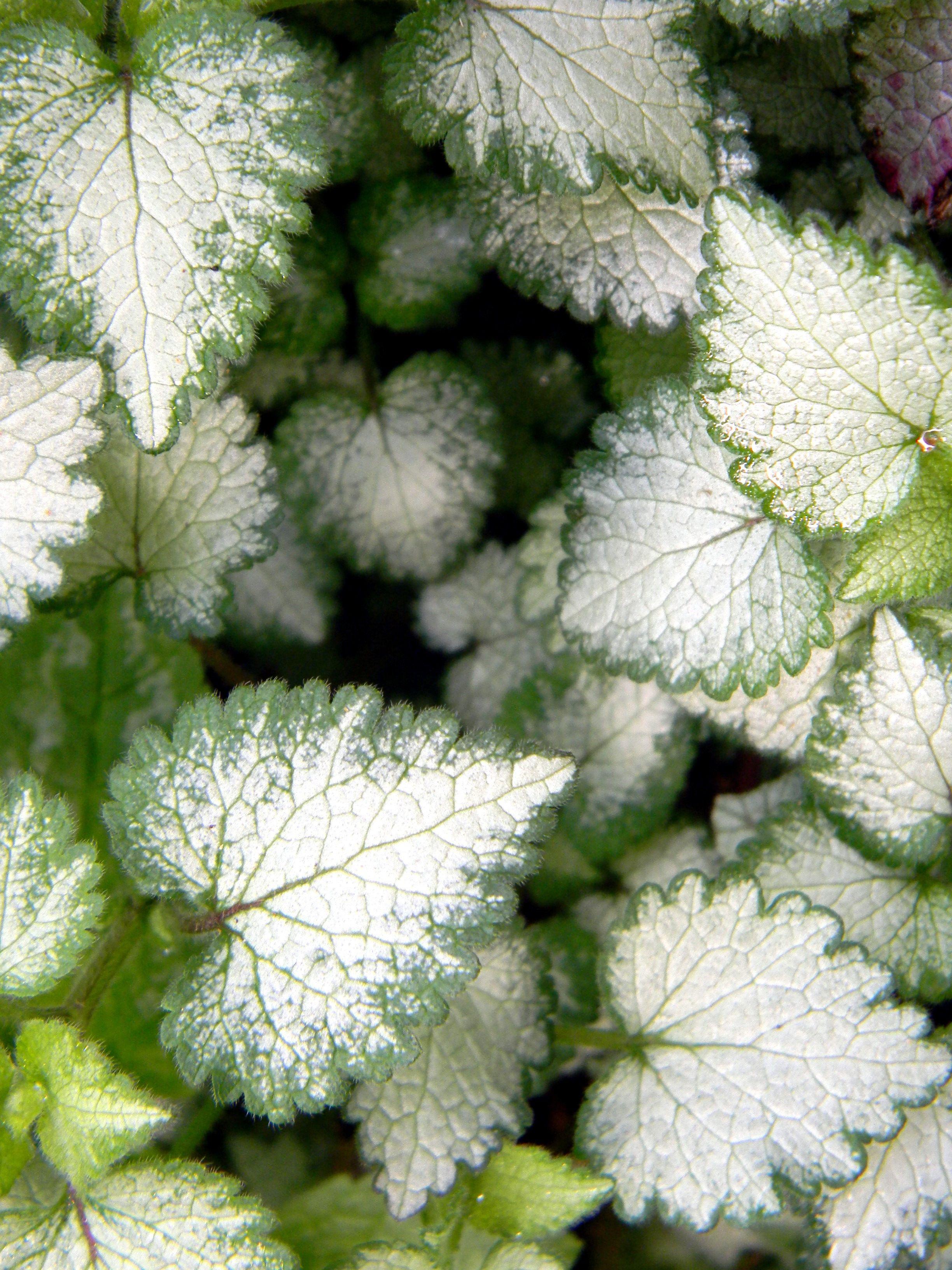 Hopeatplpeippi Lamium Maculatum White Nancy Ground Cover