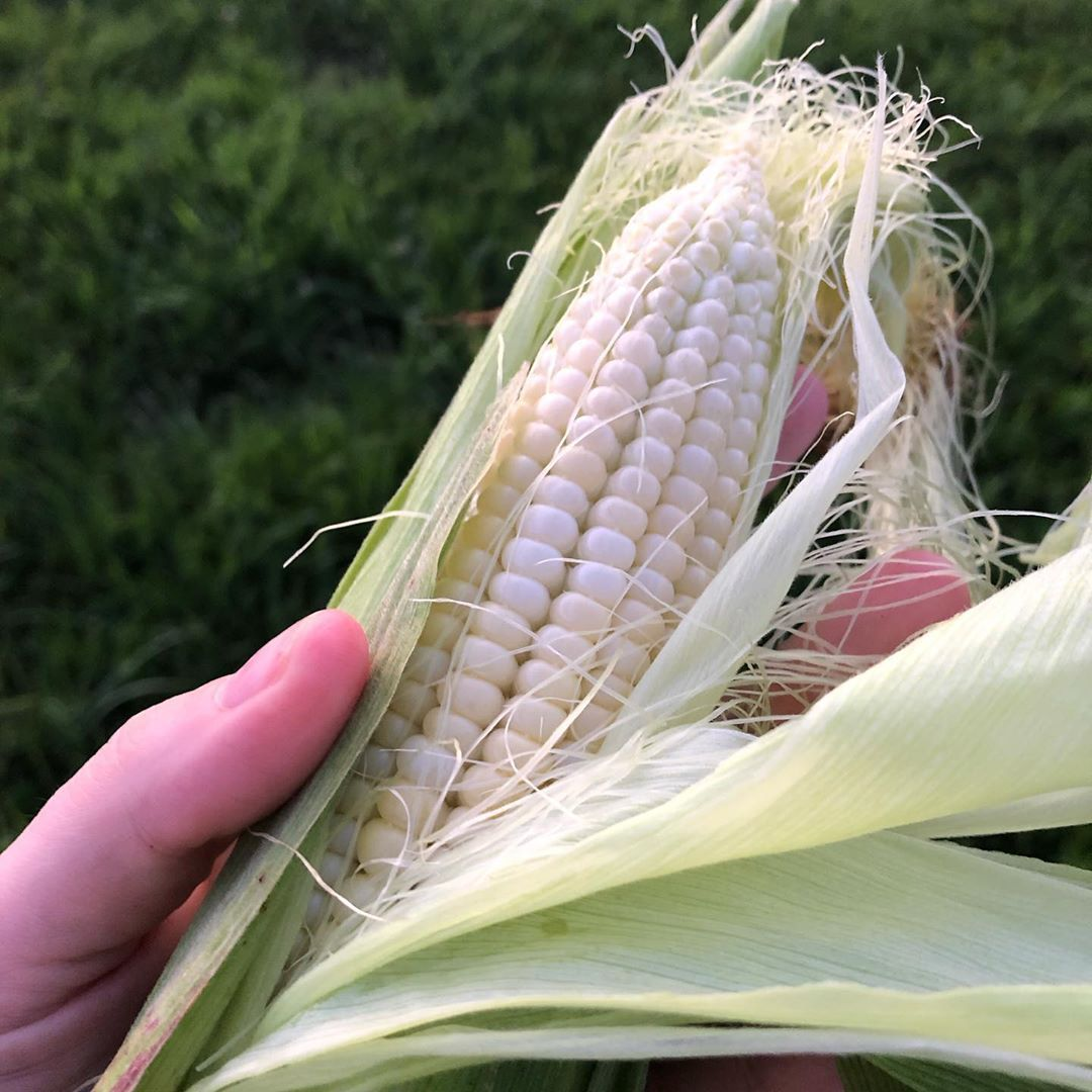 Our Sweet Corn Is Finally Ready If You Re In The Marathon County Area And Are Interested In Some Fresh Sweet Corn Let Me Know 6 P Farm Wife Sweet Corn Corn
