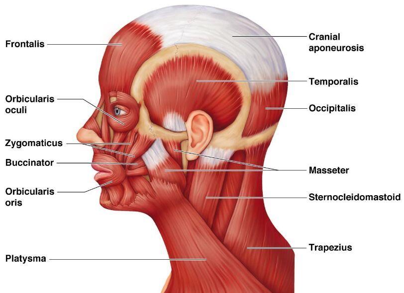 Zygomaticus Muscle Buccinator Muscle Orbicularis Oris Muscle
