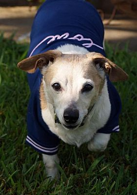Gulfport Ms Dachshund Meet Athena A Pet For Adoption Pet