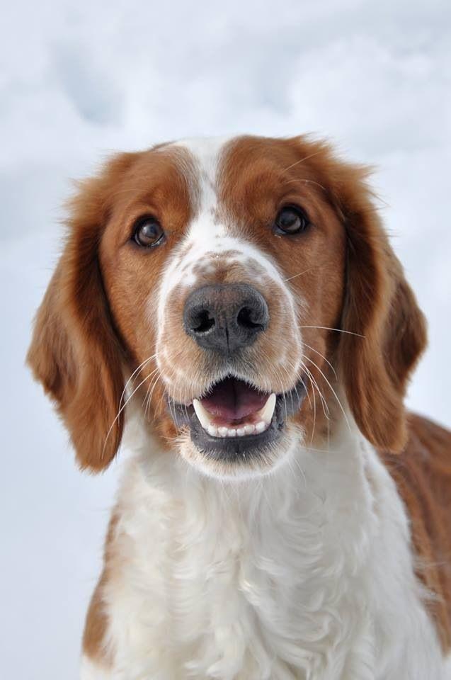 My Dog Welsh Springer Spaniel Welsh Springer Spaniel Dogs Springer Spaniel