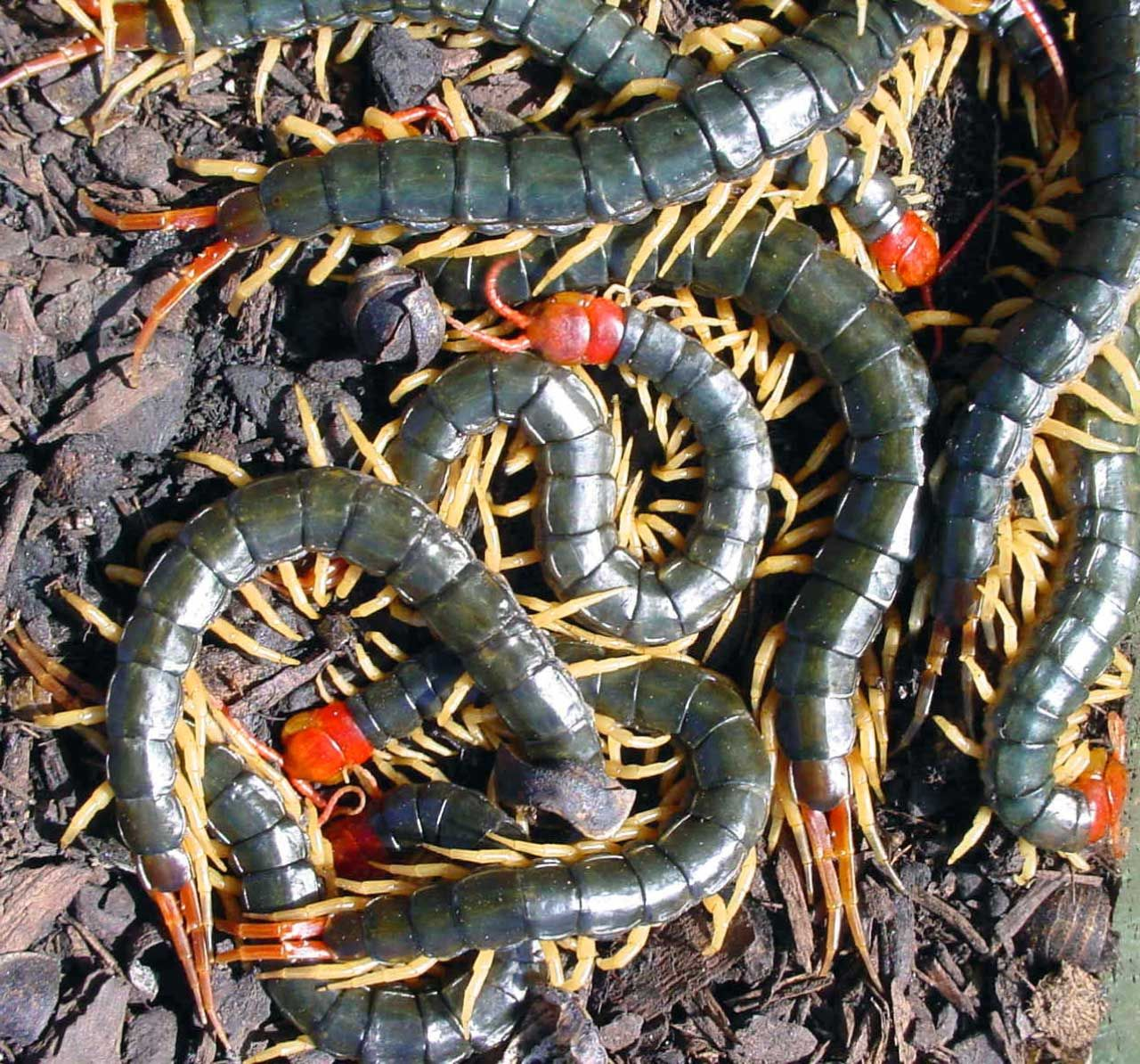 chinese red headed centipedes scolopendra subspinipes mutilans image credit department of. Black Bedroom Furniture Sets. Home Design Ideas
