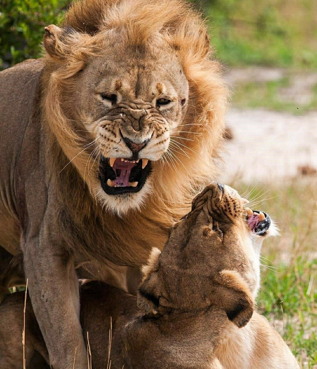 big cat safety act vote