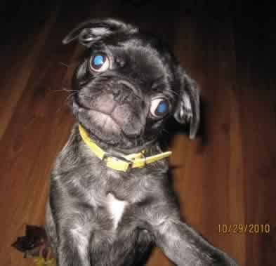 Crazy Eyes Black Pug Puppies Cute Baby Puppies Cute Animals