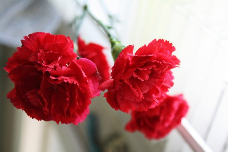Spain Red Carnations Flowers Red Flowers Garden Flower Beds