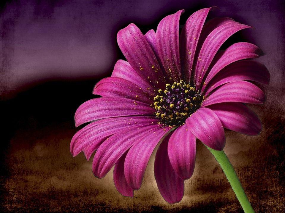 Image Gratuite Sur Pixabay Rose Marguerite Fleur Macro