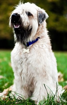 Dog Breed Guide Soft Coated Wheaten Terrier Dog Urine Wheaten Terrier Terrier