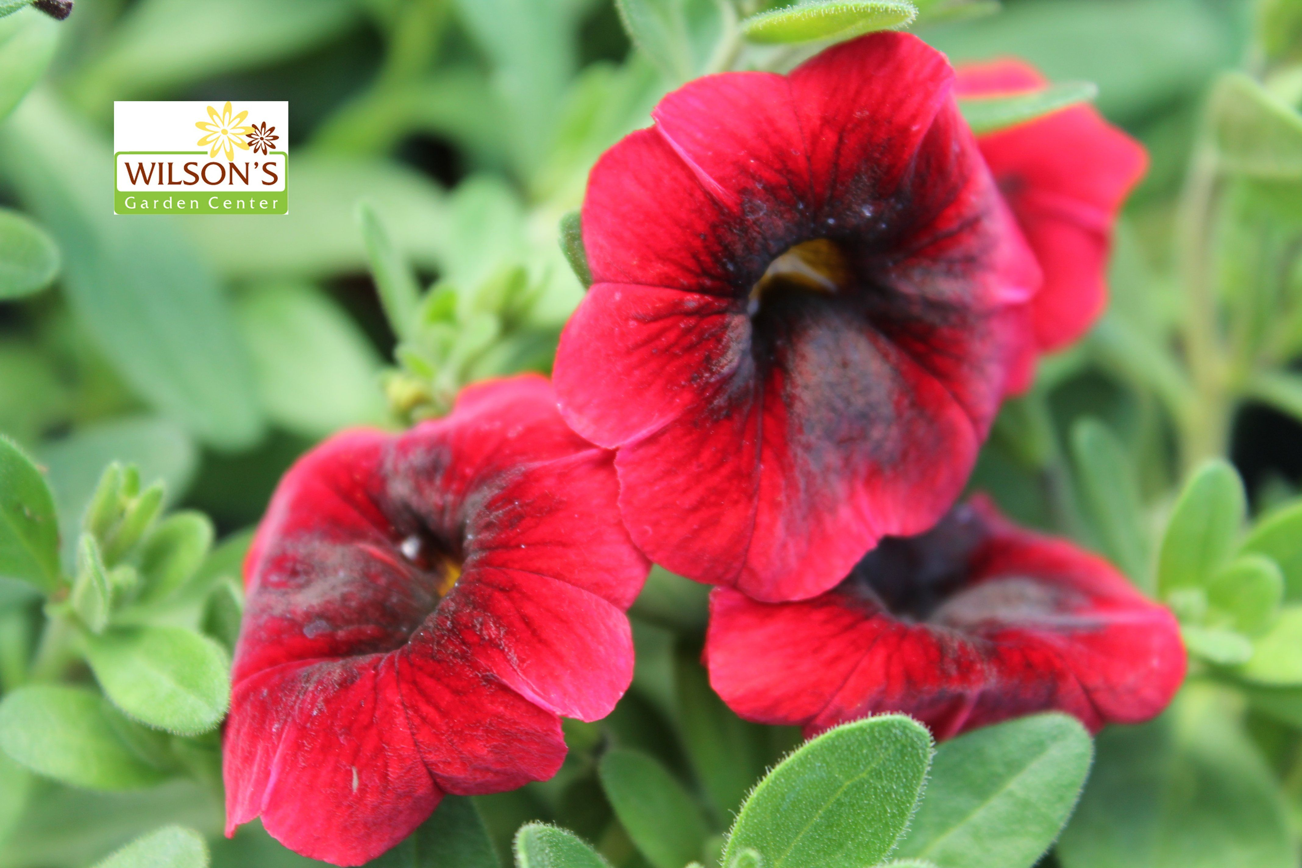 Superbells Pomegrante Punch Rosy Red Flowers Dramatically Accented