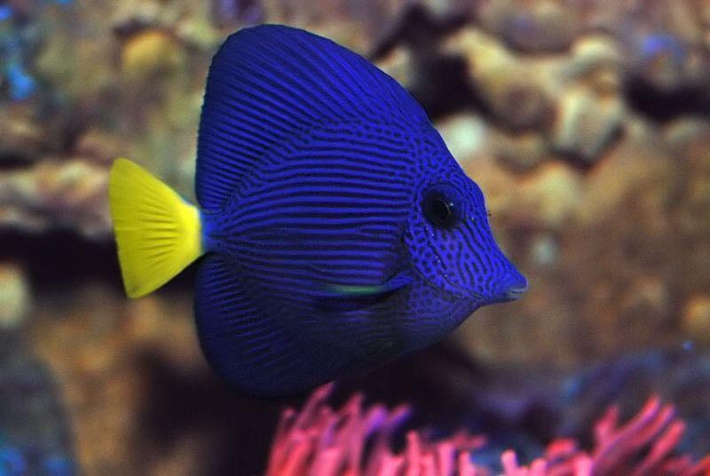 Purple Tang Saltwater Fish Tanks Saltwater Aquarium Fish Fish