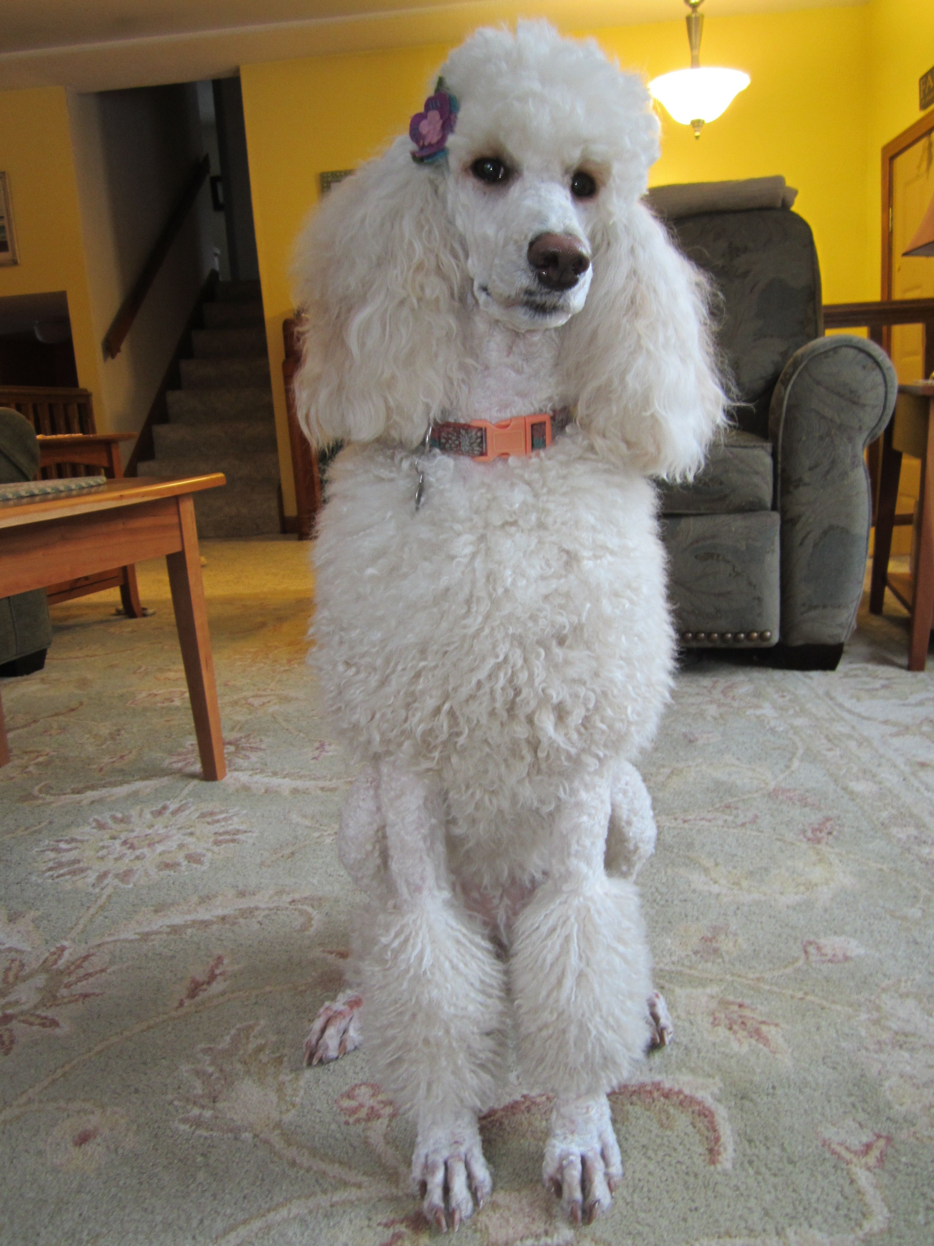 Effie 2 Year Old Apricot Standard Poodle Apricot Standard