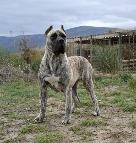 You Can Sometimes See The Black Mask Of The Presa Very Clearly Corso Dog Dogs Mastiff Dogs
