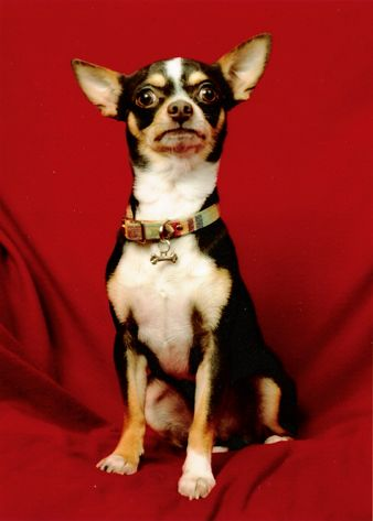 Chihuahua Dog Wikipedia The Free Encyclopedia With Images