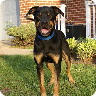 Virginia Beach VA RottweilerRat Terrier Mix Meet Ziggy A Dog - Terrier and rottweiler