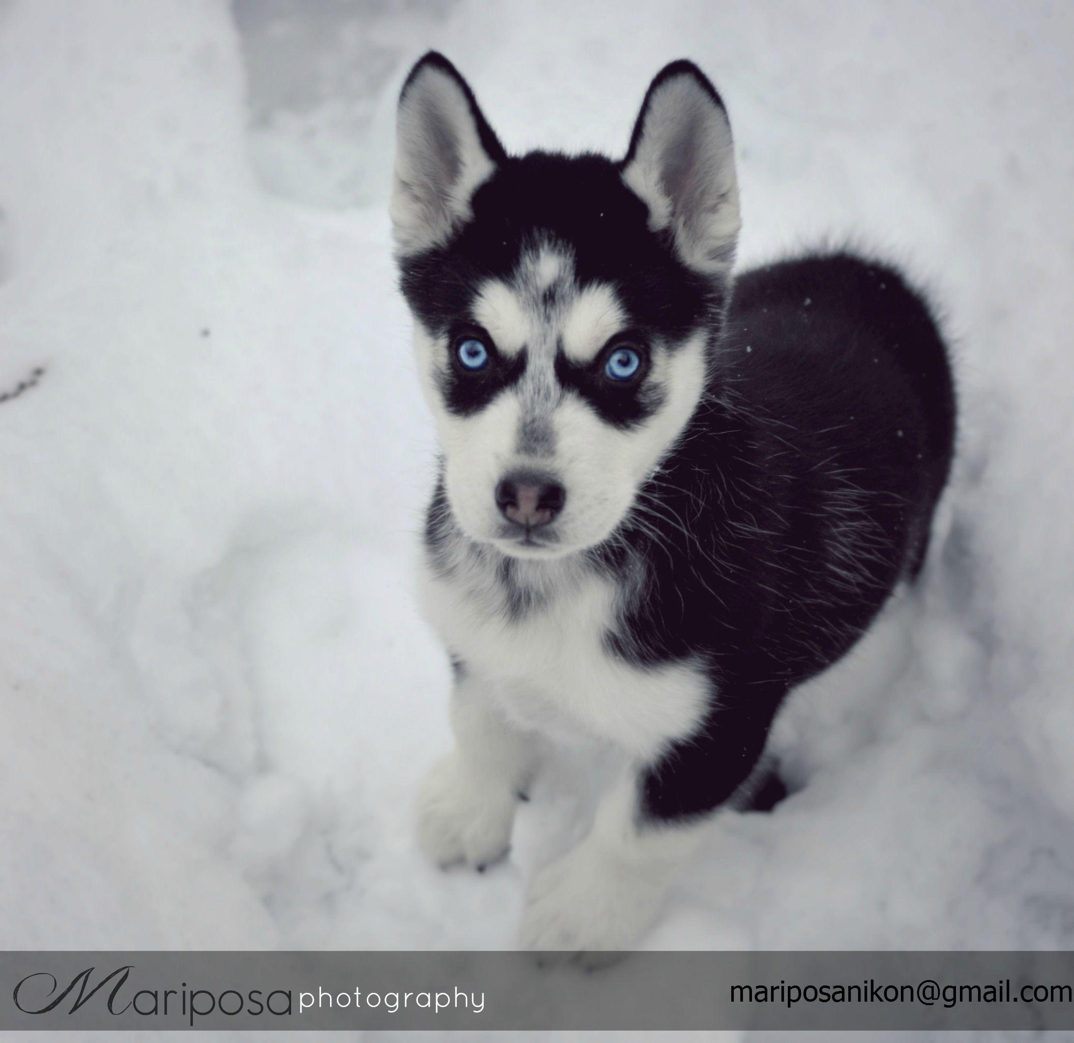 My Siberian Husky Puppy Sheba Black And White Blue Eyes