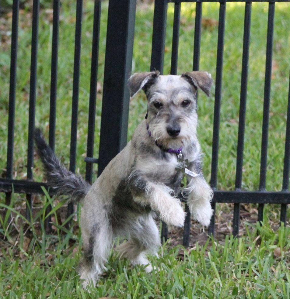 Adopt cyndie on miniature schnauzer schnauzer breed