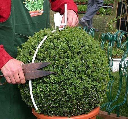 How To Make Ball Bushes Boxwood Garden Topiary Garden Backyard