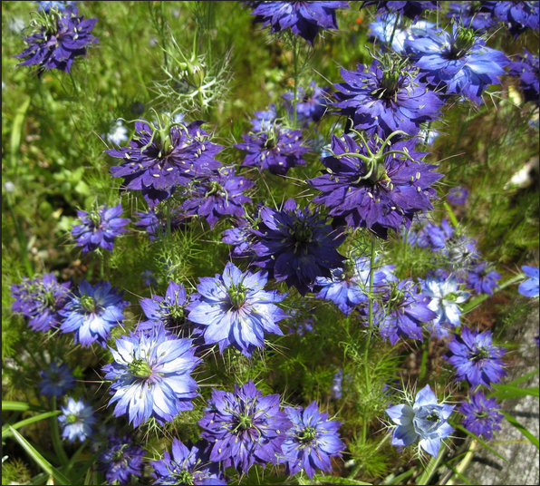 Love in a mist for the Bouquet <3