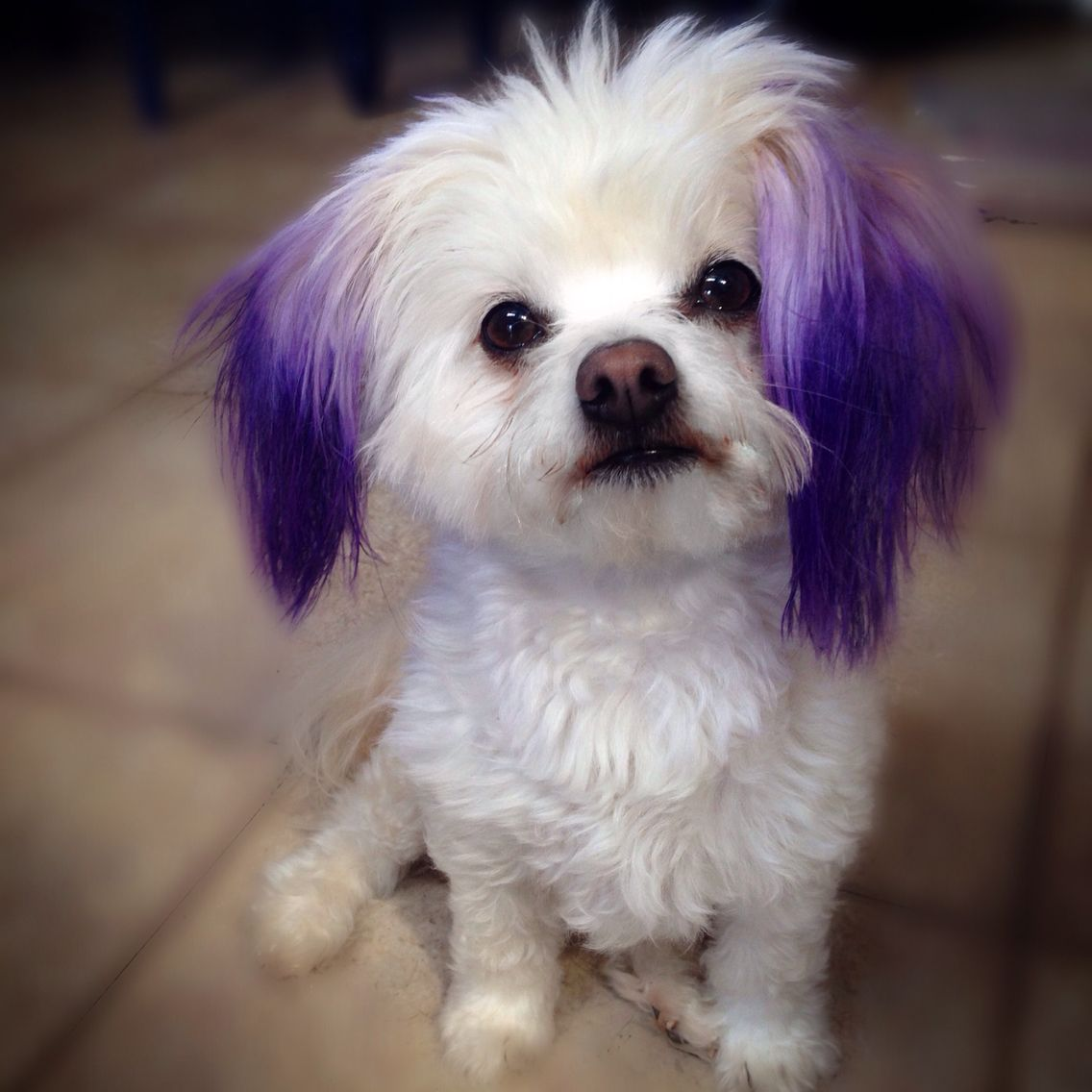 I dyed Marilyn\'s ears with purple food coloring, not hair ...