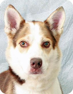 Pictures of Oso a Husky Mix for adoption in Modesto, CA who needs a loving home.