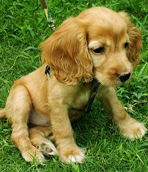 American Cocker Spaniel Price Temperament Life Span Cocker