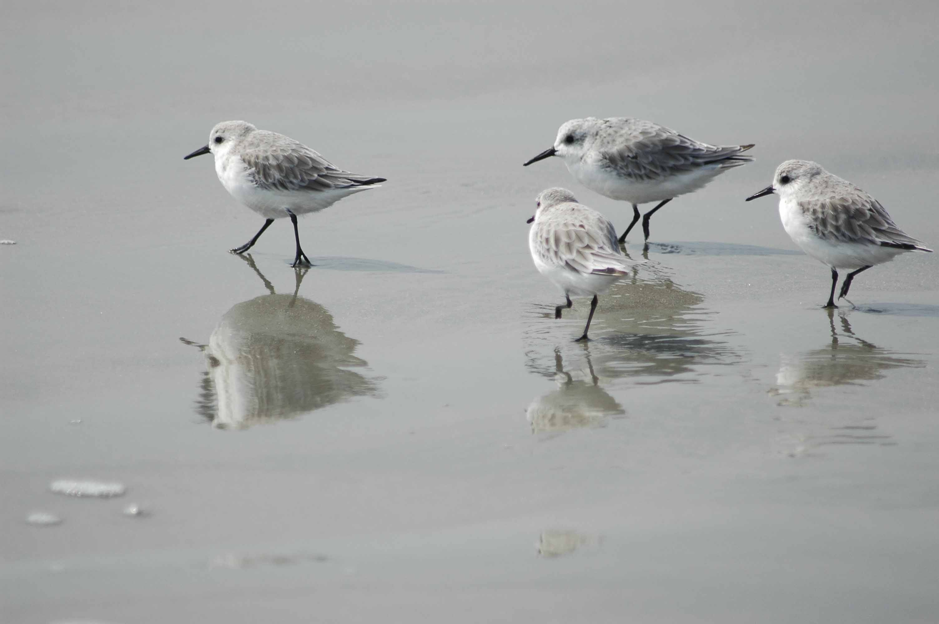 Migratory shorebirds, and the wetland habitats they require to complete their annual journeys, are under threat