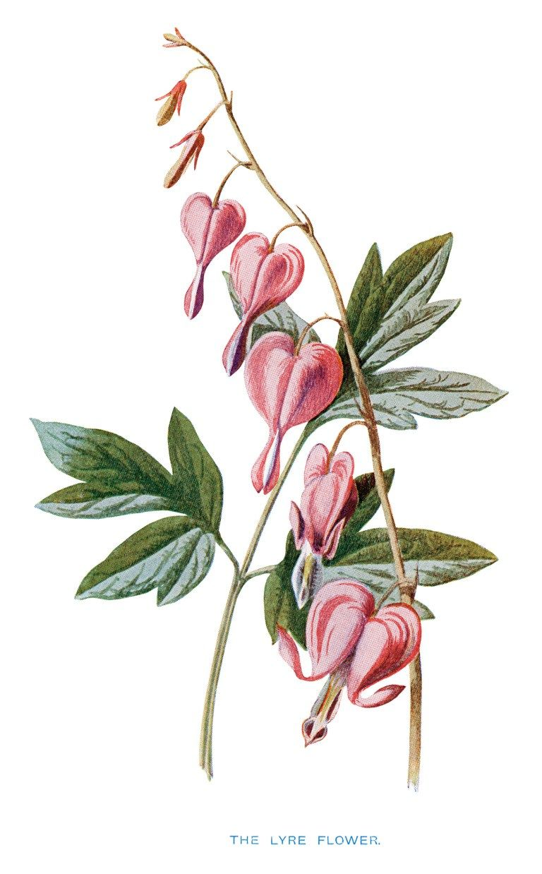 Free Vintage Printable Pink Flower Bleeding Heart Flora u fauna