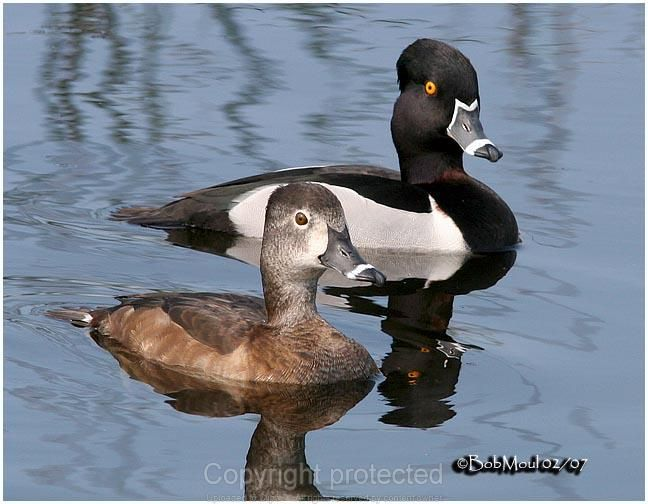 Ring Necked Duck pair - Saw a large flock of these ducks in