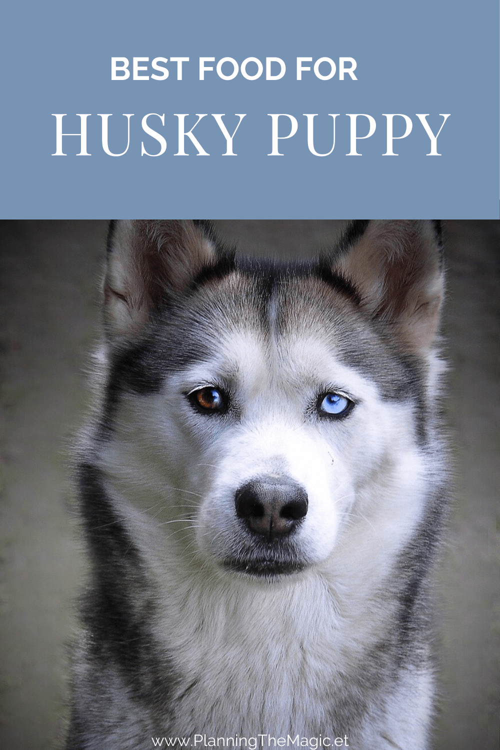 the Best Food for your Husky Puppy in 2020 Husky puppy