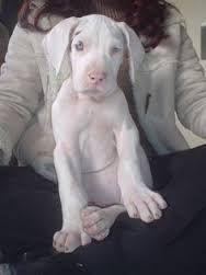 Great Dane Albino Great Dane Dogs Great Dane