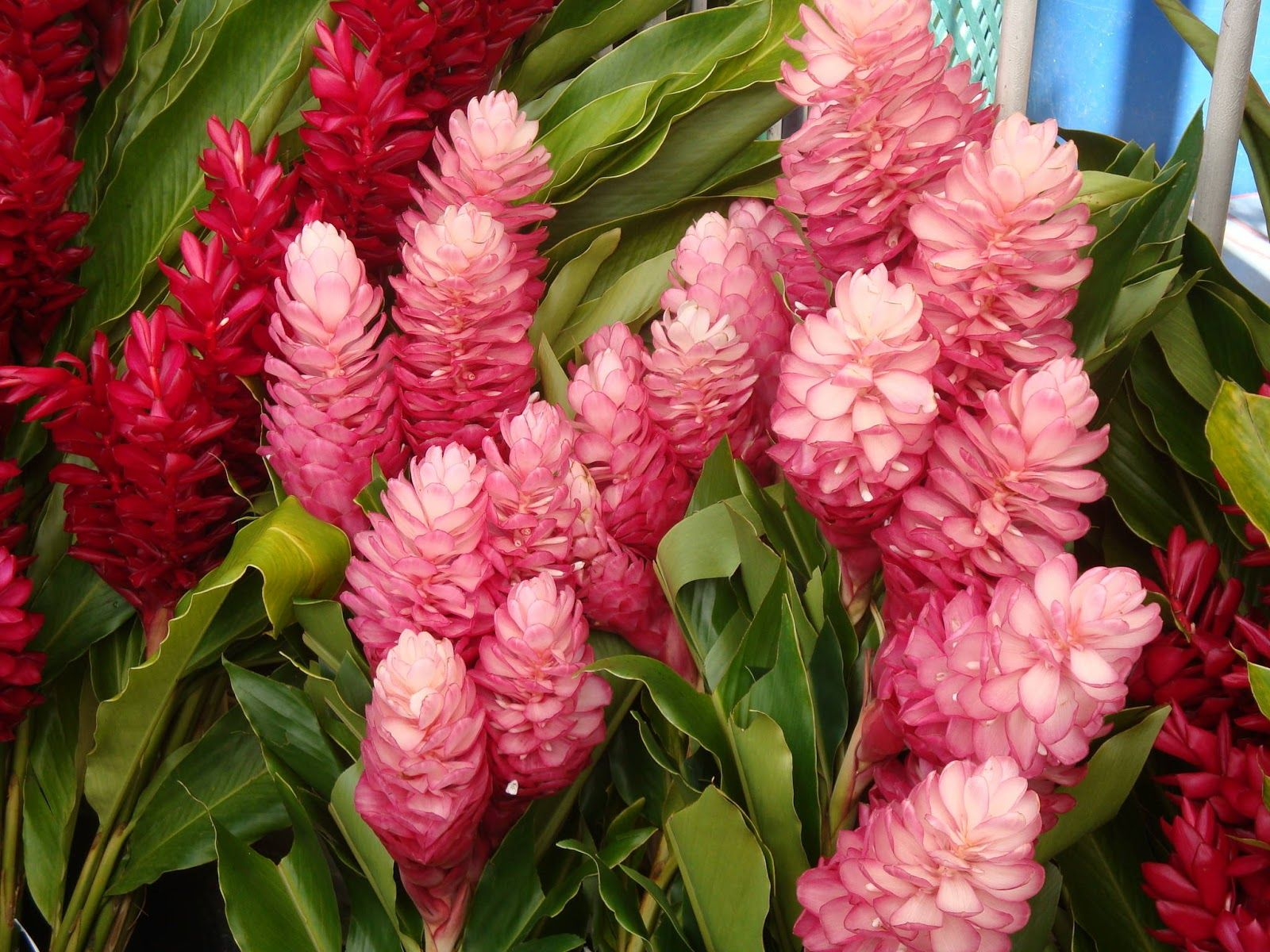 Pink And Red Ginger Flowers Pinterest Flowers Tropical