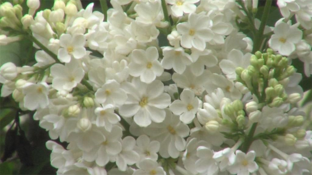 Celebrating Spring & Lilacs