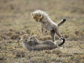Playful Cheetah Cubs, Ngorongoro Conservation Area, Tanzania - Professional Photos
